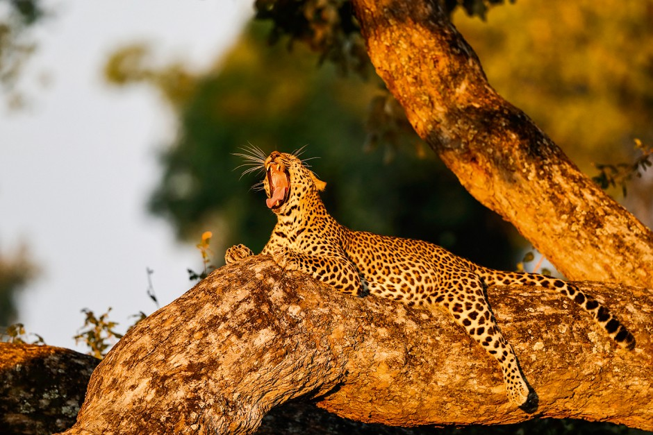 Wildlife-Lexikon: Leoparden