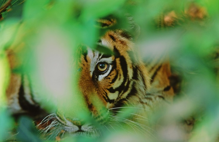 Tiger im Bandhavgarh National Park